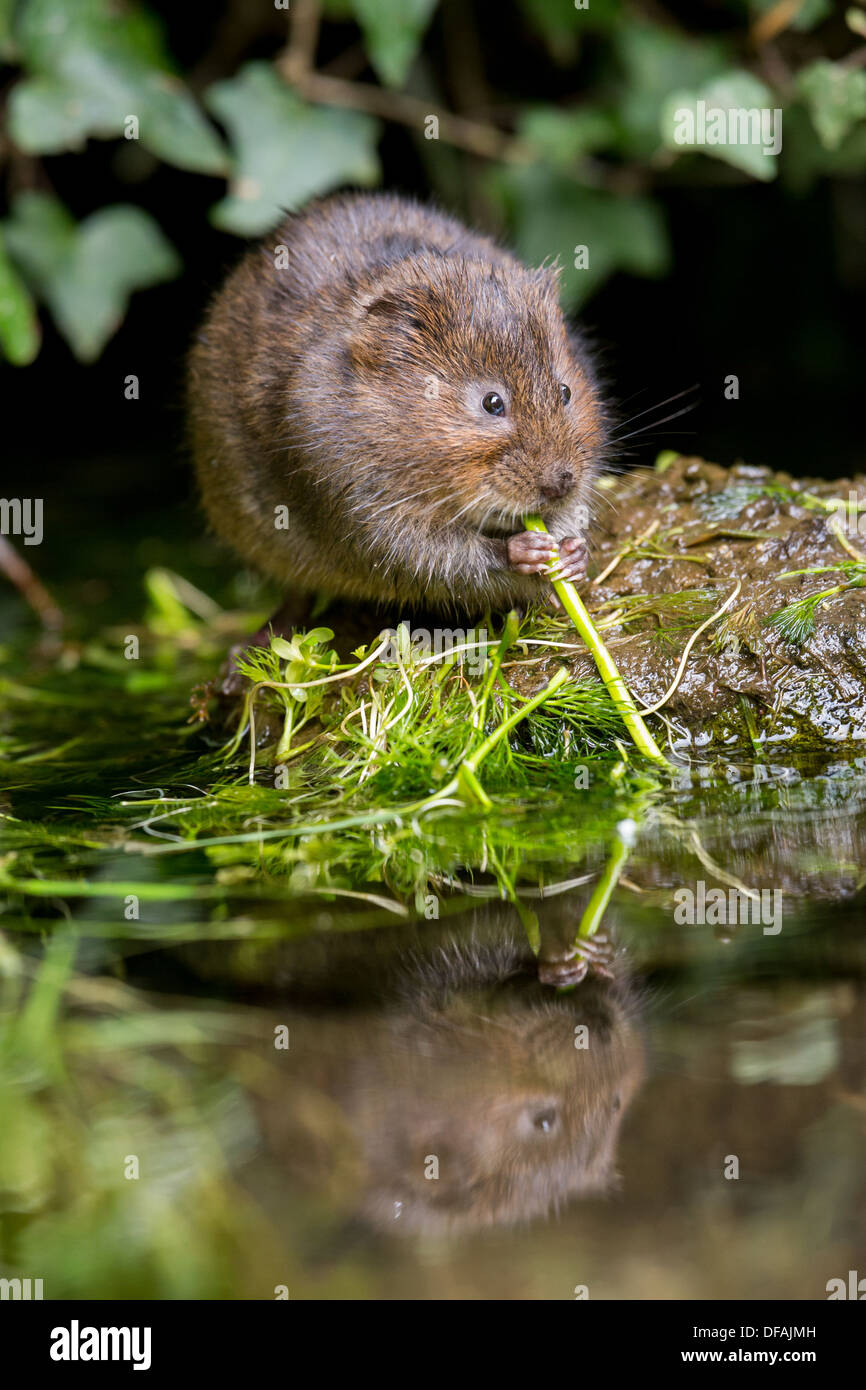 British Water Vole (Arvicola amphibius) feeding on a rock in a river in Kent, England, UK - Stock Image