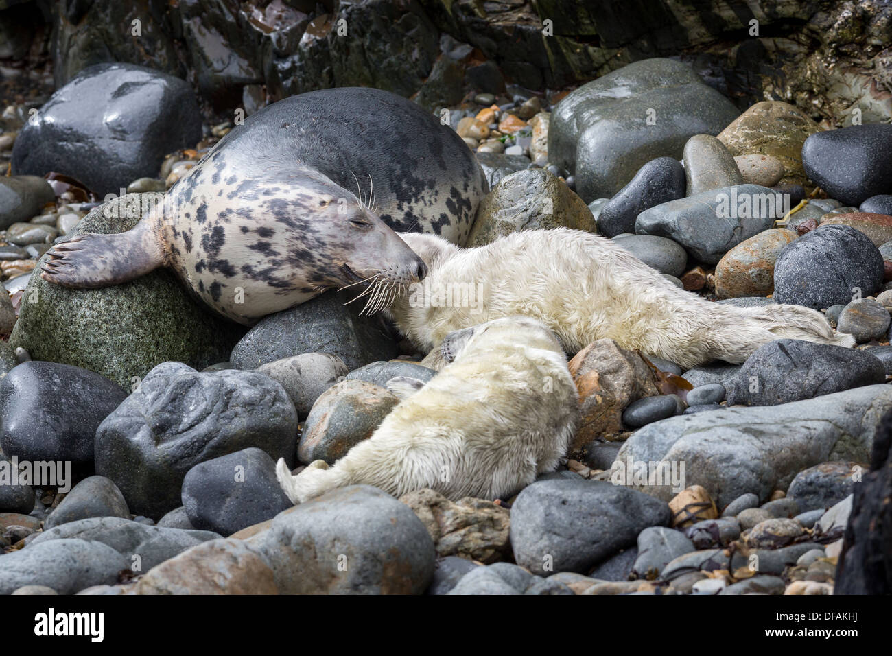 Grey Seal (Halichoerus grypus) gestures to its young pup on a rocky cove on the Pembrokeshire island of Ramsey Stock Photo