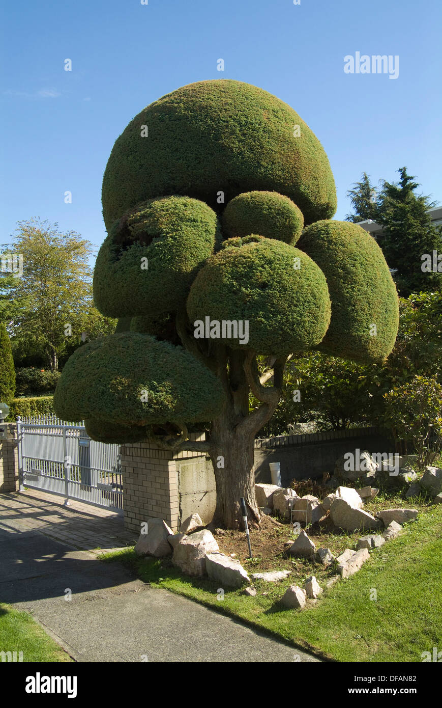 Carefully trimmed tree, Vancouver, British Columbia, Canada - Stock Image