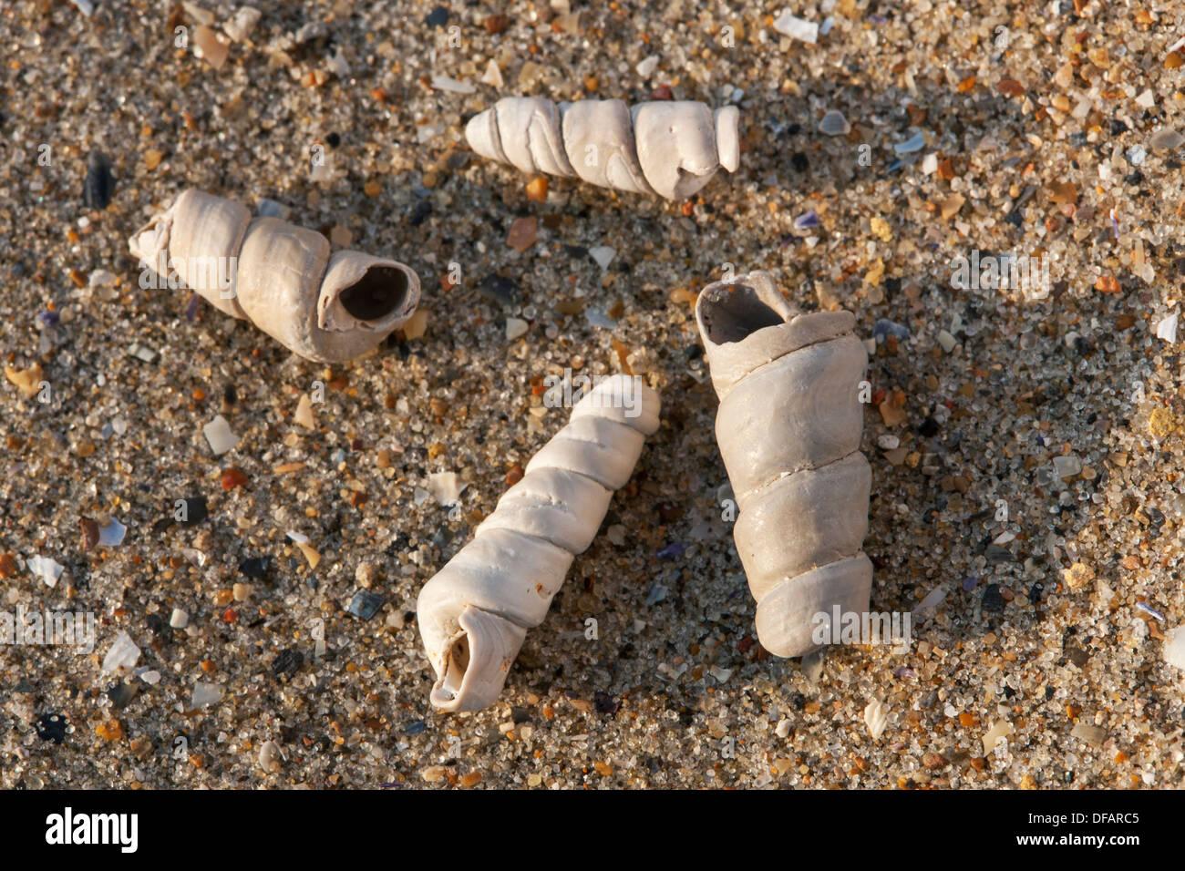 Truncatella subcylindrica shells on beach along the North Sea coast - Stock Image