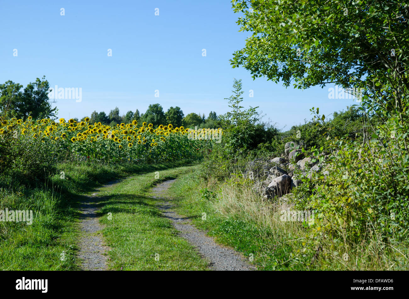 Sunflowers field by a dirt road side on the swedish island Oland. - Stock Image