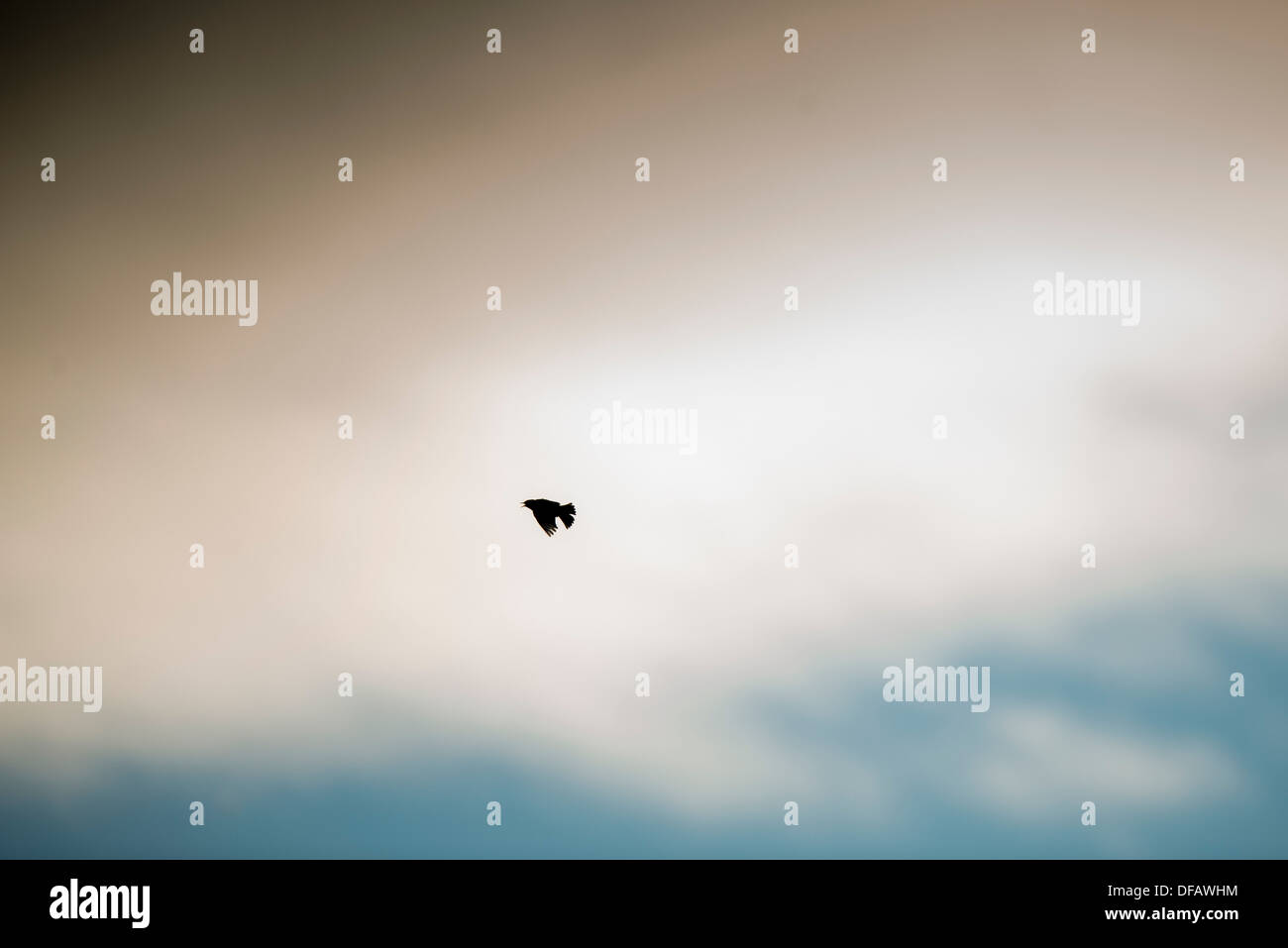 Skylark flying through the clouds calling, singing. - Stock Image