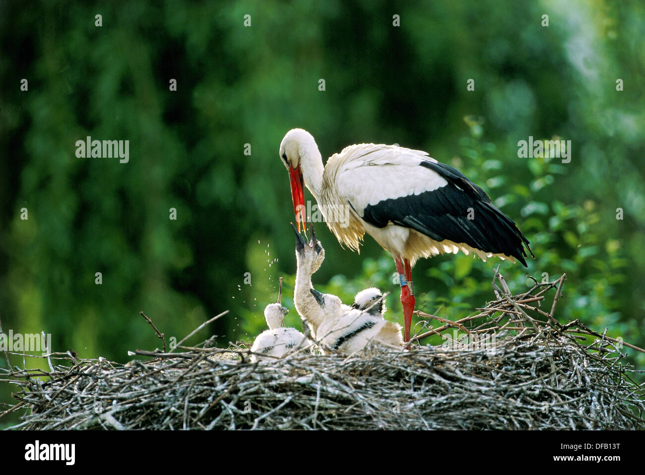 White stork regurgitating food to chicks in nest (Ciconia ciconia). Alsace - France Stock Photo