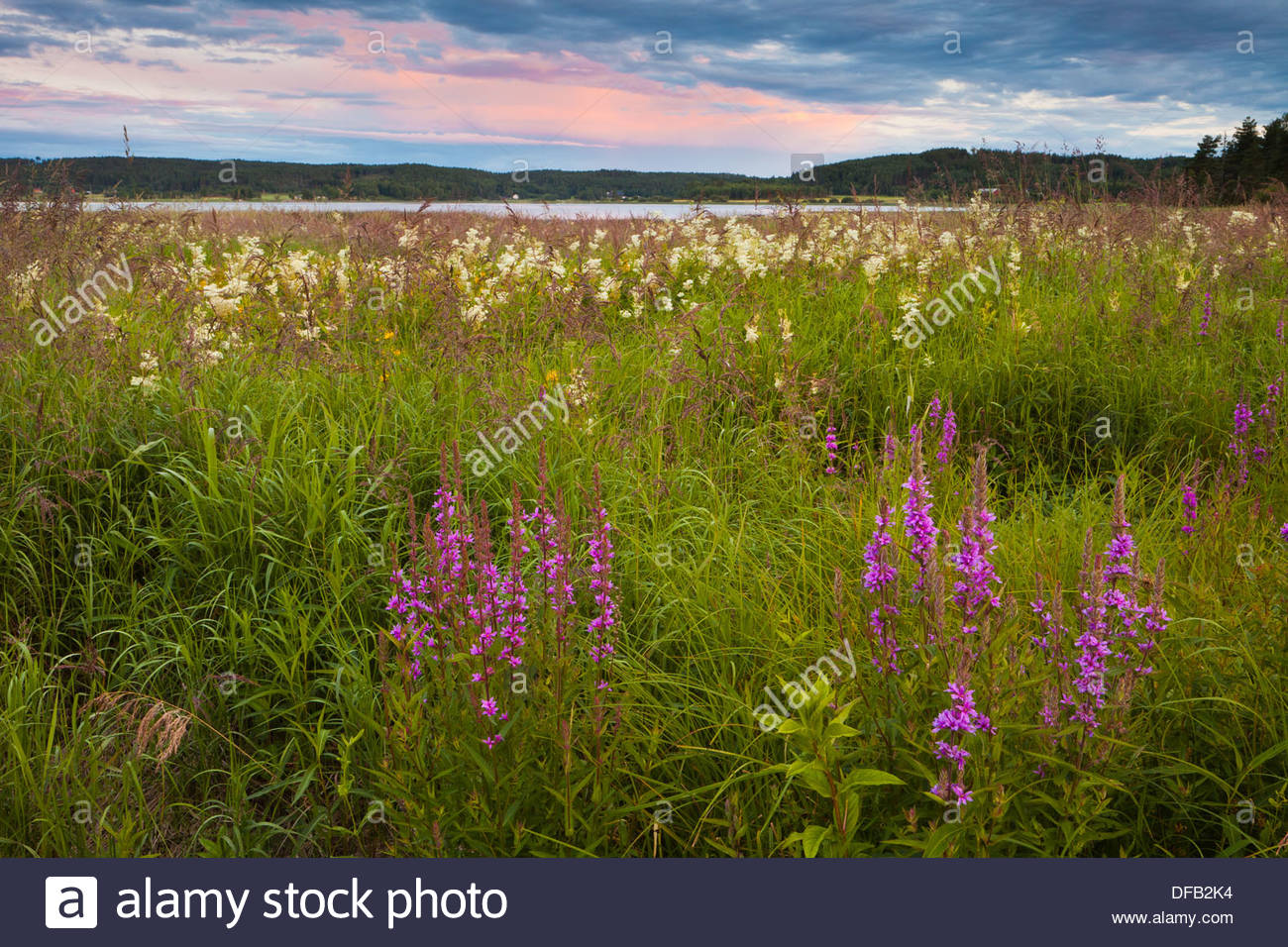 Beautiful purple loosestrife flowers, Lythrum salicaria, in a meadow near the lake Sæbyvannet in Østfold, Norway. Stock Photo