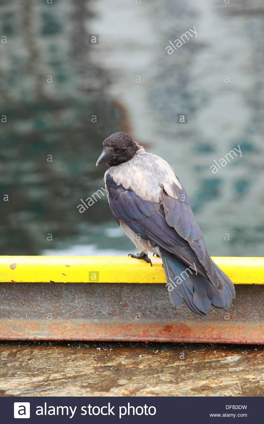 Grey Crow ( Corvus tristis ), in Bergen, Norway - Stock Image