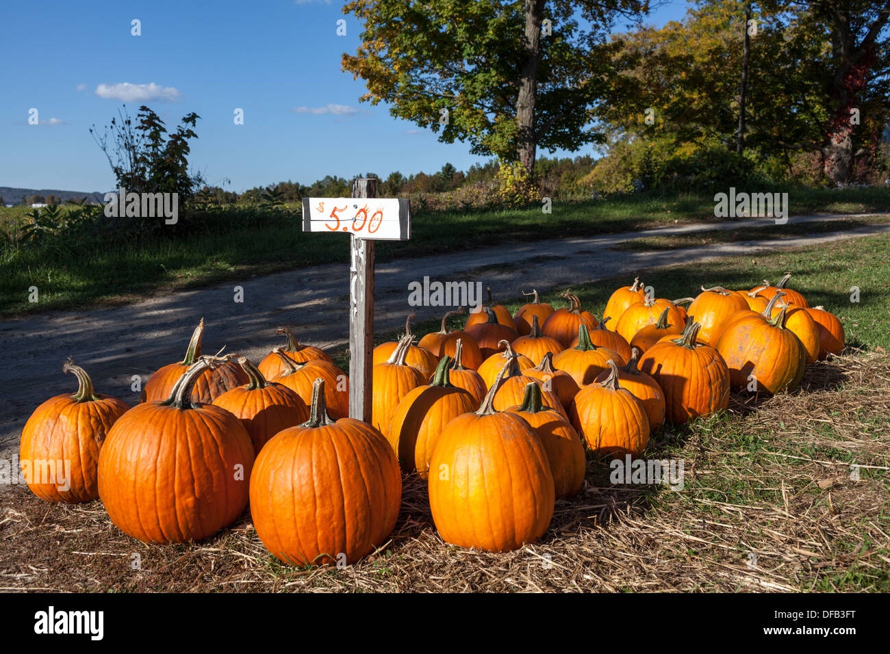 A good year for pumpkins in Mohawk Valley of New York State, late September. - Stock Image