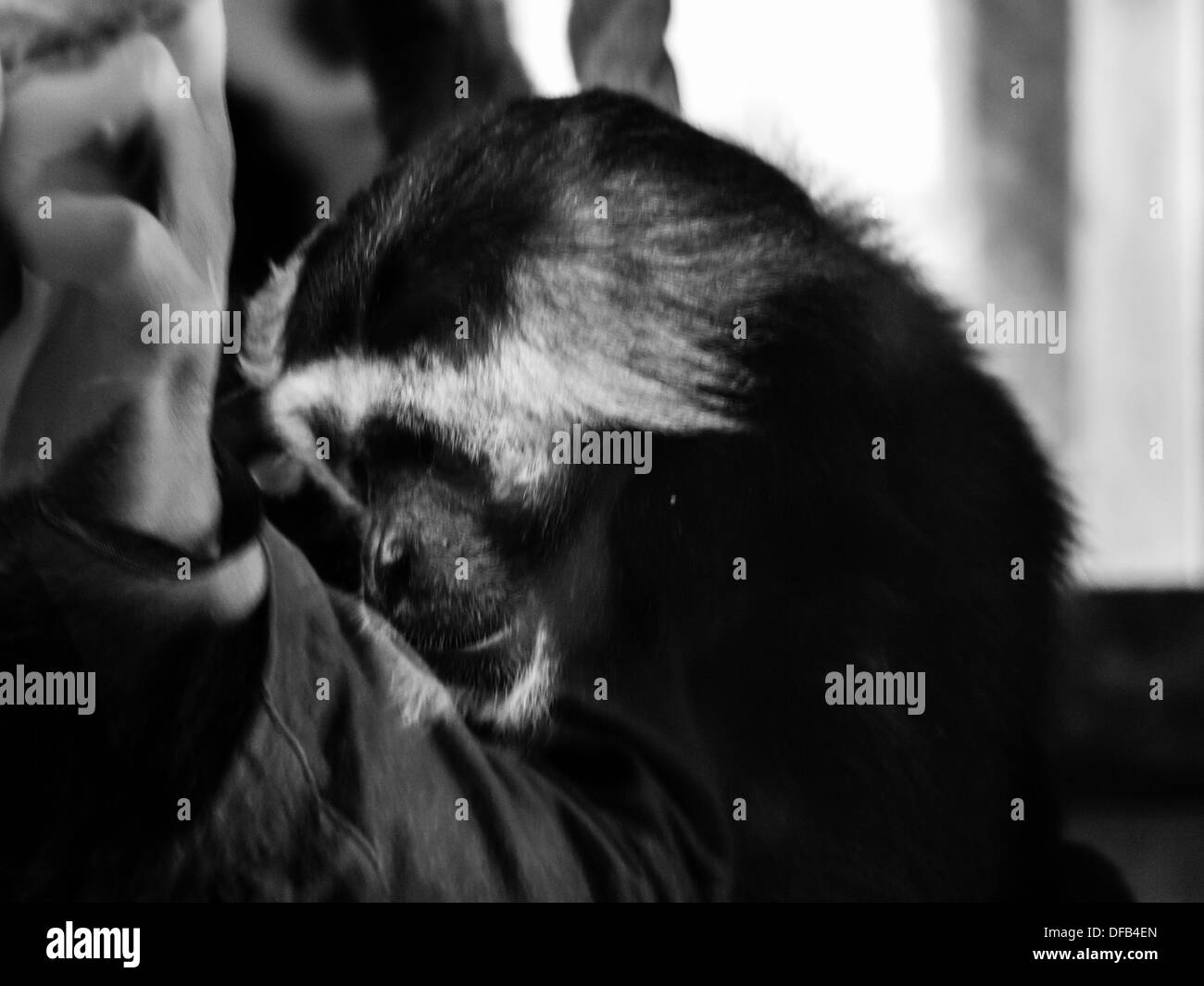 A Chimpanzee (Pan Troglodytes) behind glass being photographed by a visitor. The Chimp has a  solemn look on his face. - Stock Image