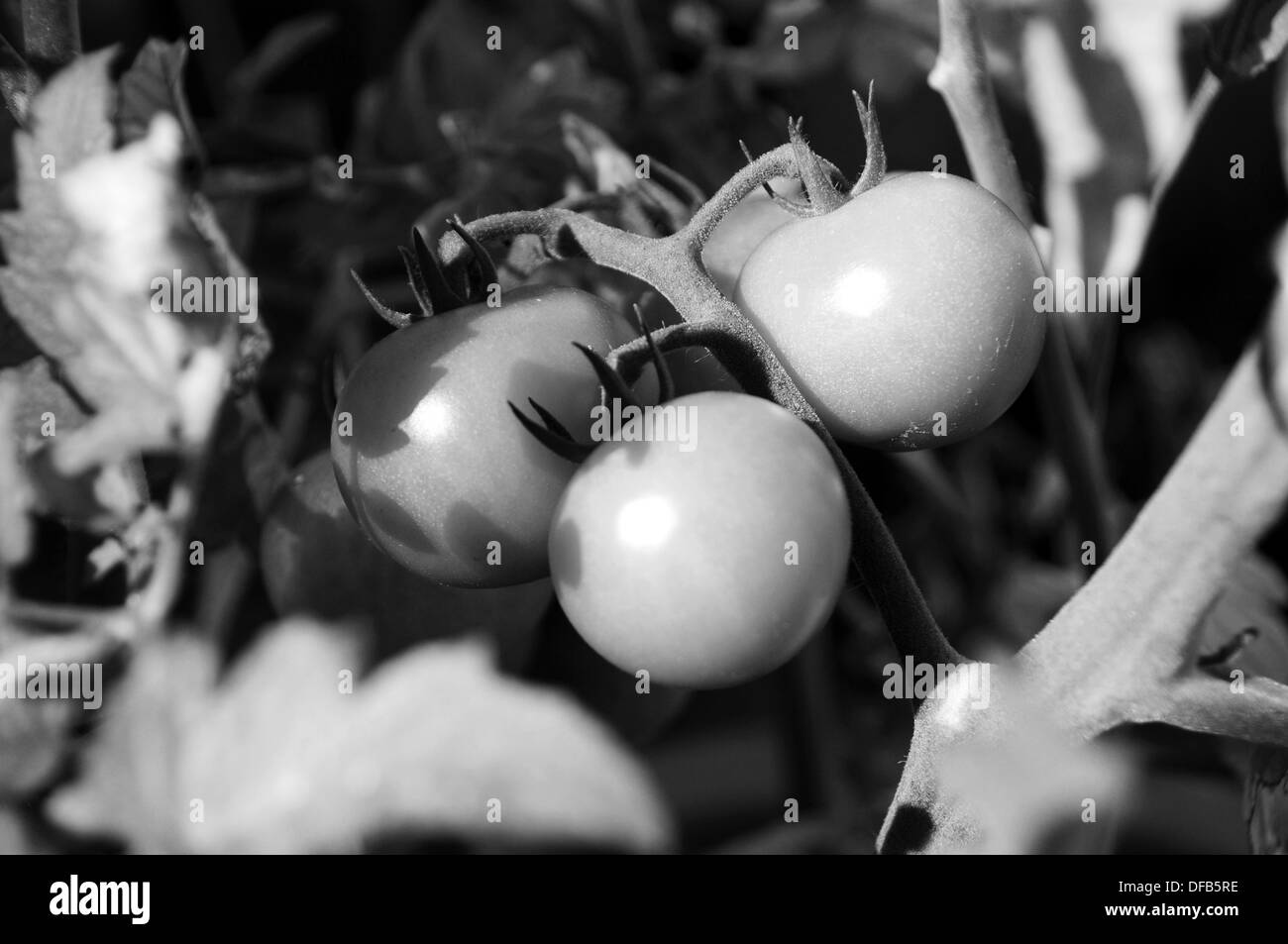 Ripe tomatoes - Stock Image