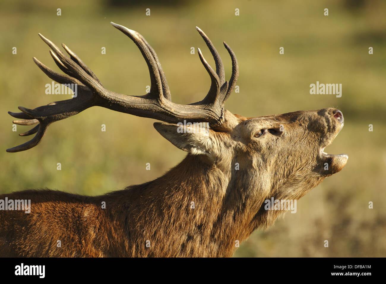 Bellow. Red deer Cervus elaphus - Stock Image