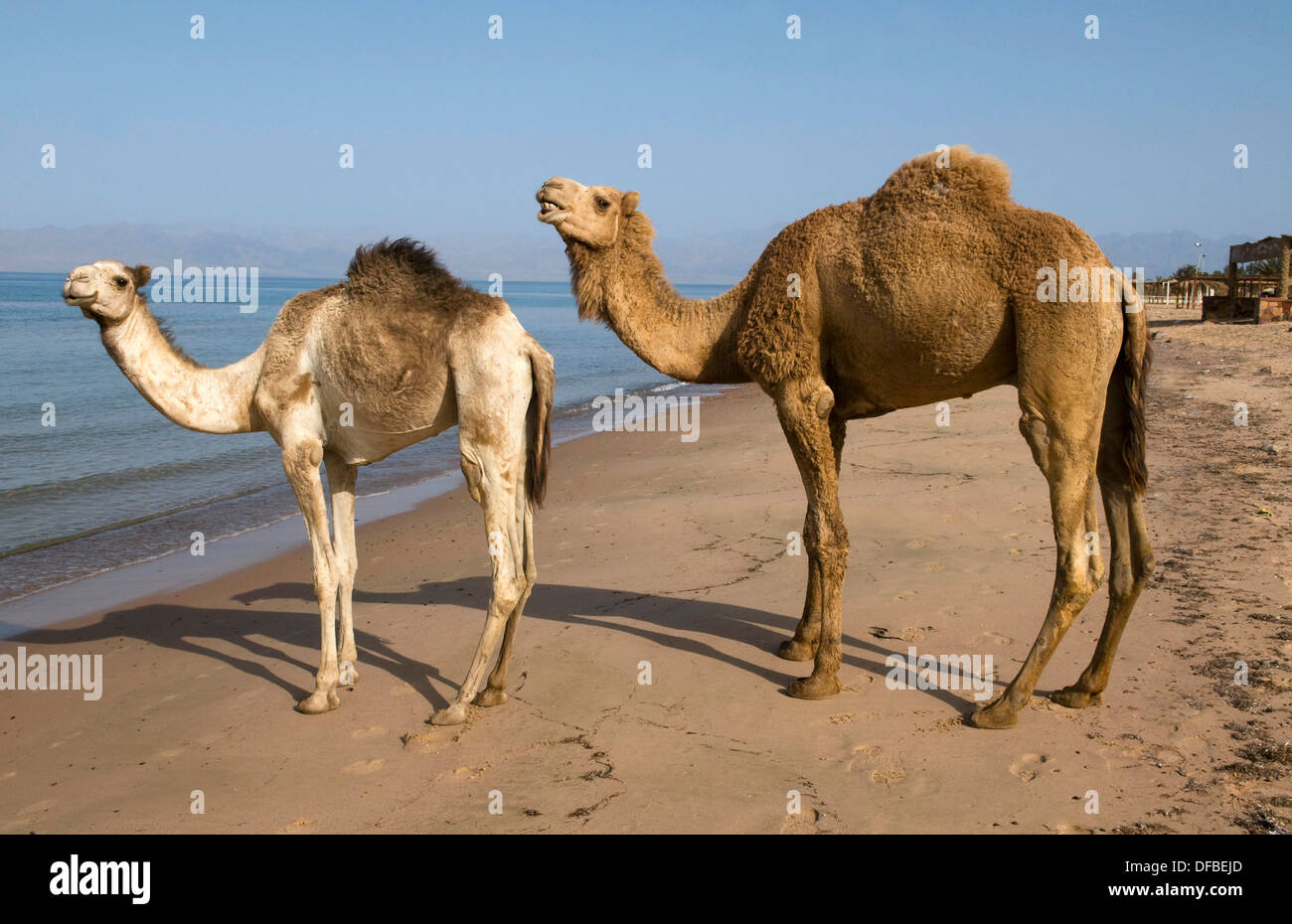 camels walking along the beach next to the Red Sea in the Sinai Desert of Egypt - Stock Image