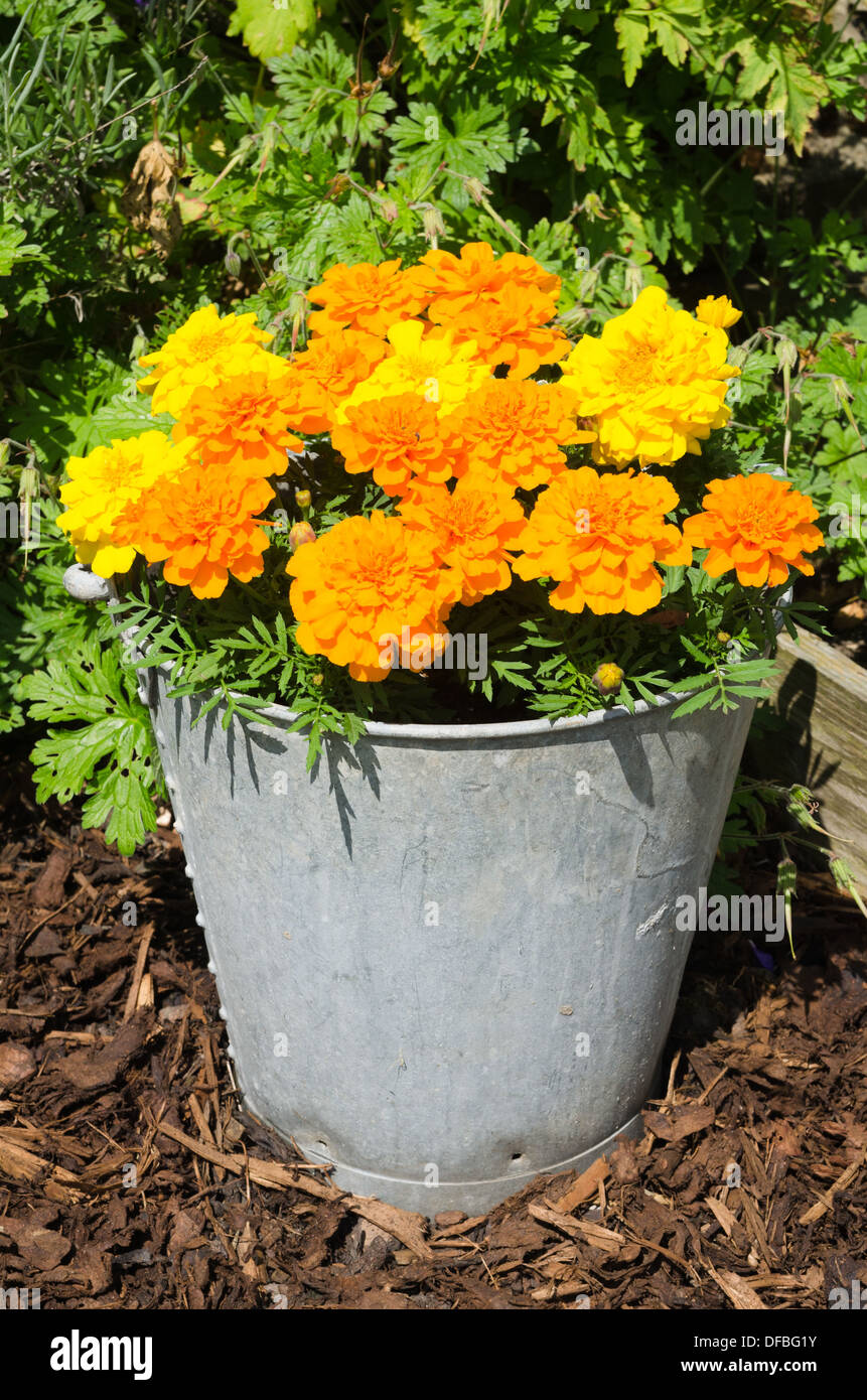 Marigold plants in flower in a galvanized bucket - Stock Image