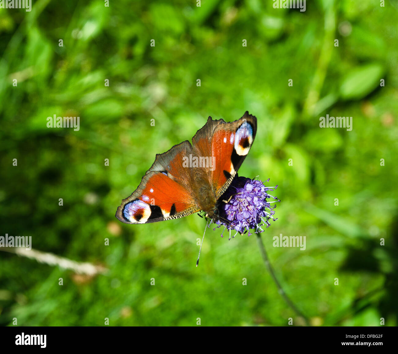 Peacock butterfly - Nymphalidae Inachis - Stock Image