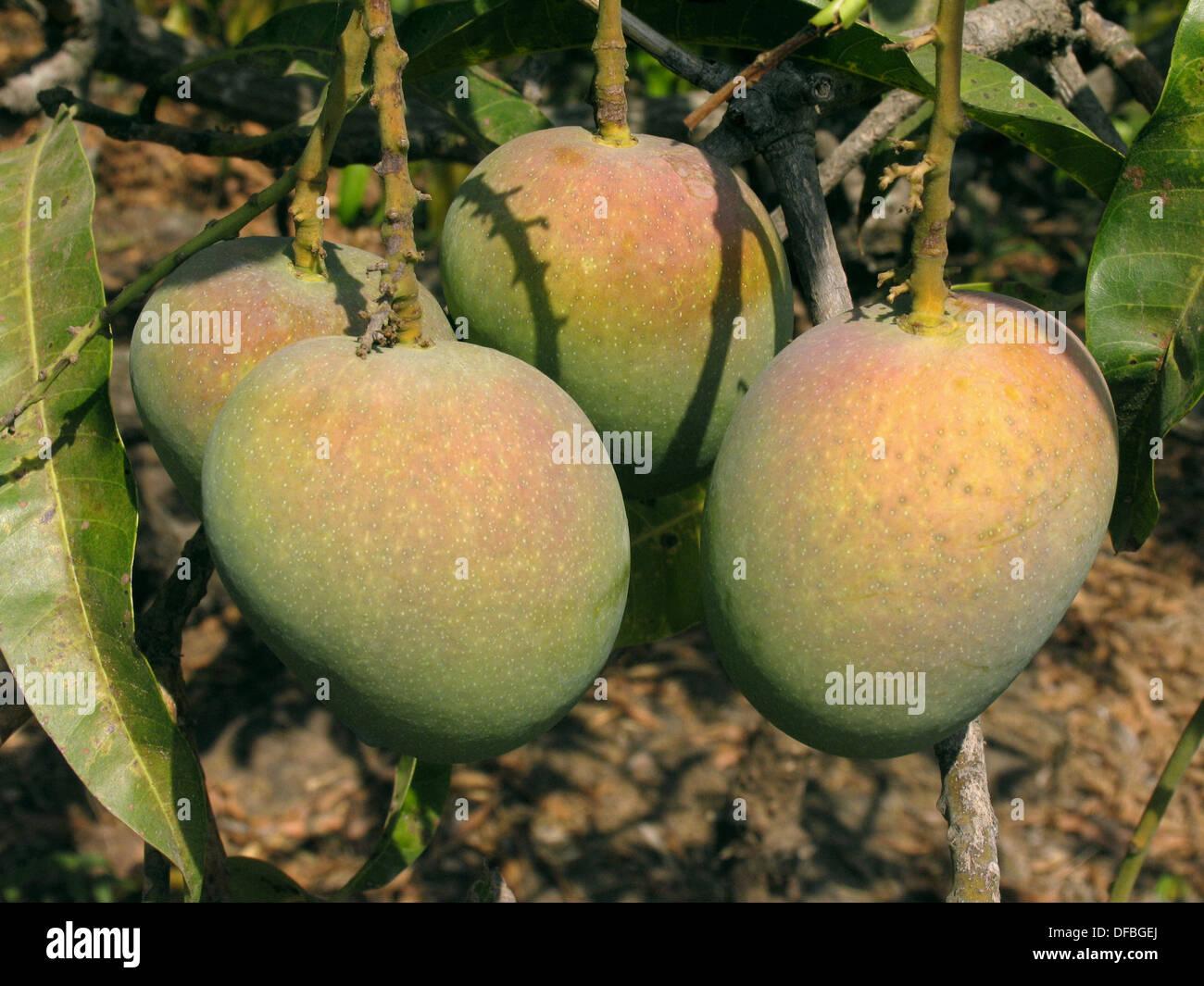 alphonso mangoes hanging on a tree mangifera indica l anacardiaceae DFBGEJ