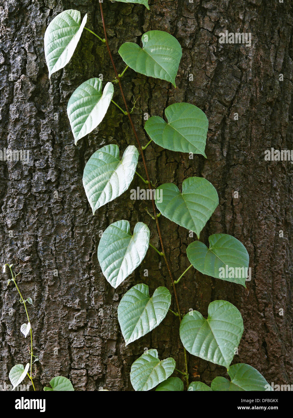 a creeping plant with heart shaped leaves ratnagiri maharashtra stock photo 61105518 alamy. Black Bedroom Furniture Sets. Home Design Ideas