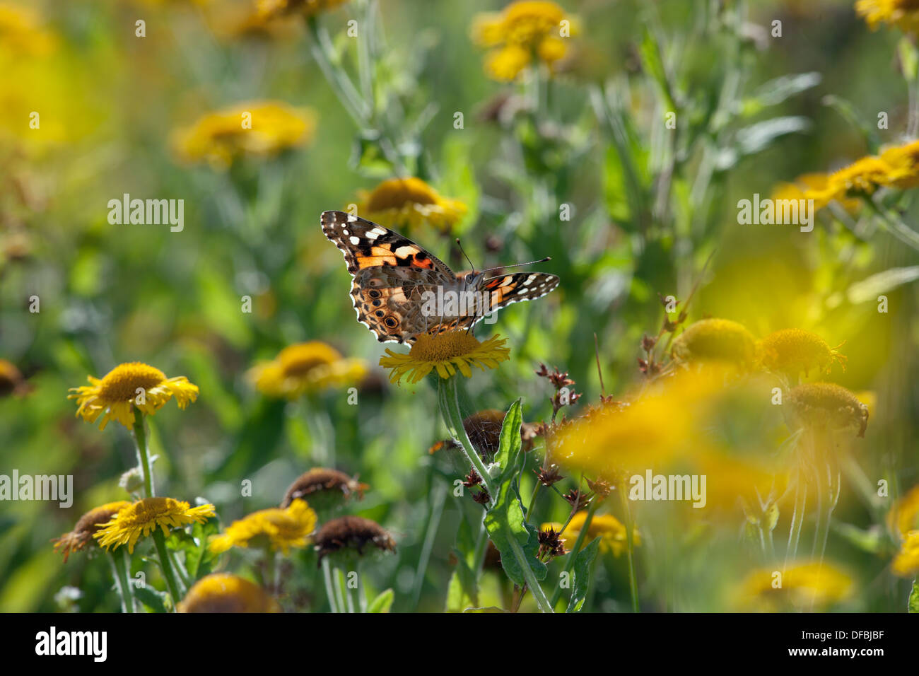 Painted Lady Butterfly Cynthia cardui feeding on Fleabane - Stock Image