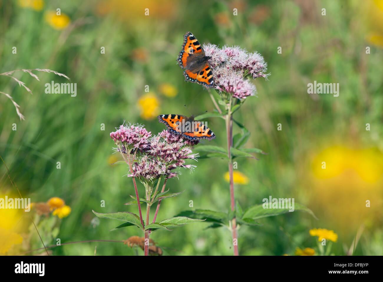 Small Tortoiseshell Butterflies Aglais urticae on Hemp agrimony - Stock Image