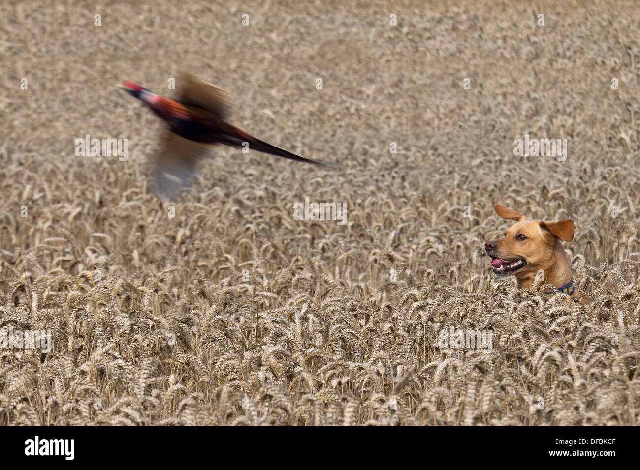 Yellow Labrador hunting pheasants in Wheat crop at Harvest time Norfolk August - Stock Image