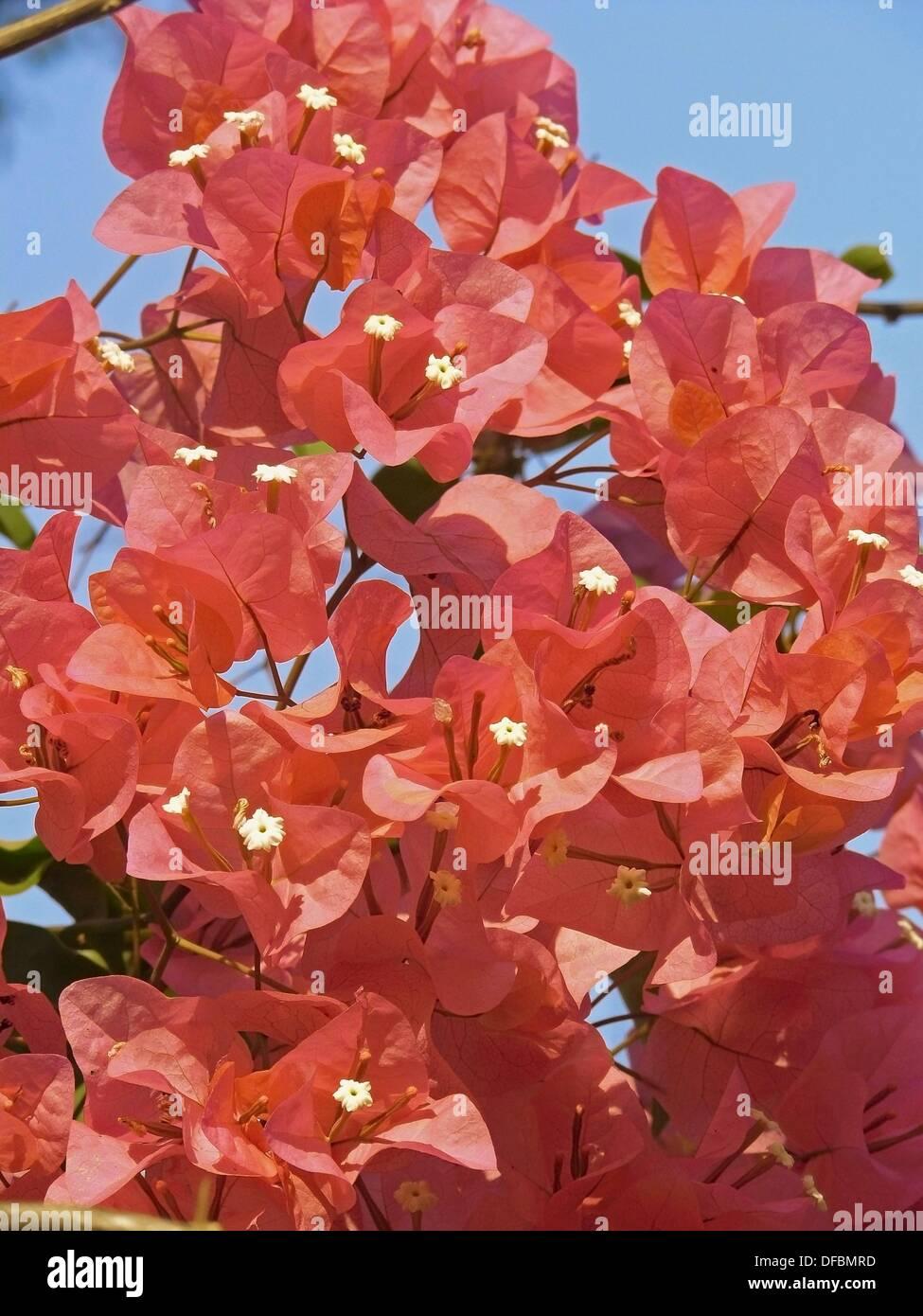 Lesser Bougainvillea (Bougainvillea glabra), India - Stock Image