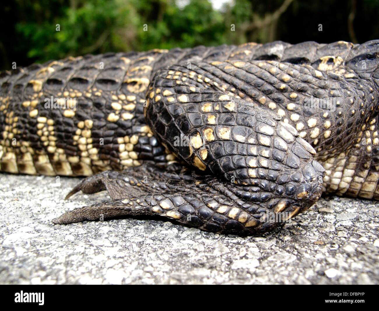 An alligator is a crocodilian in the genus Alligator of the family Alligatoridae. There are two extant alligator species: the - Stock Image