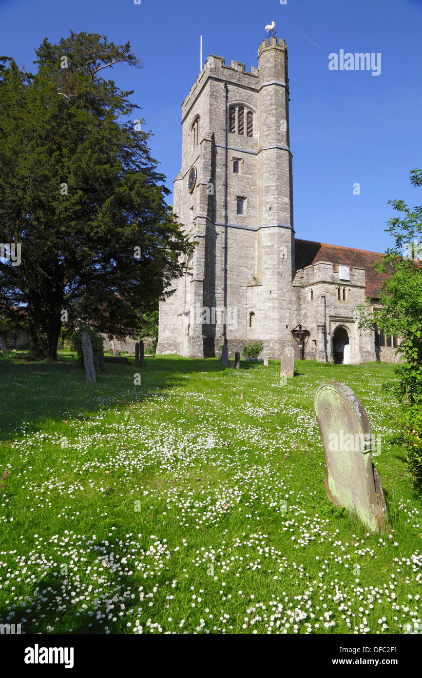 Daisies in the churchyard of St Peter and St Paul, Charing Kent UK - Stock Image