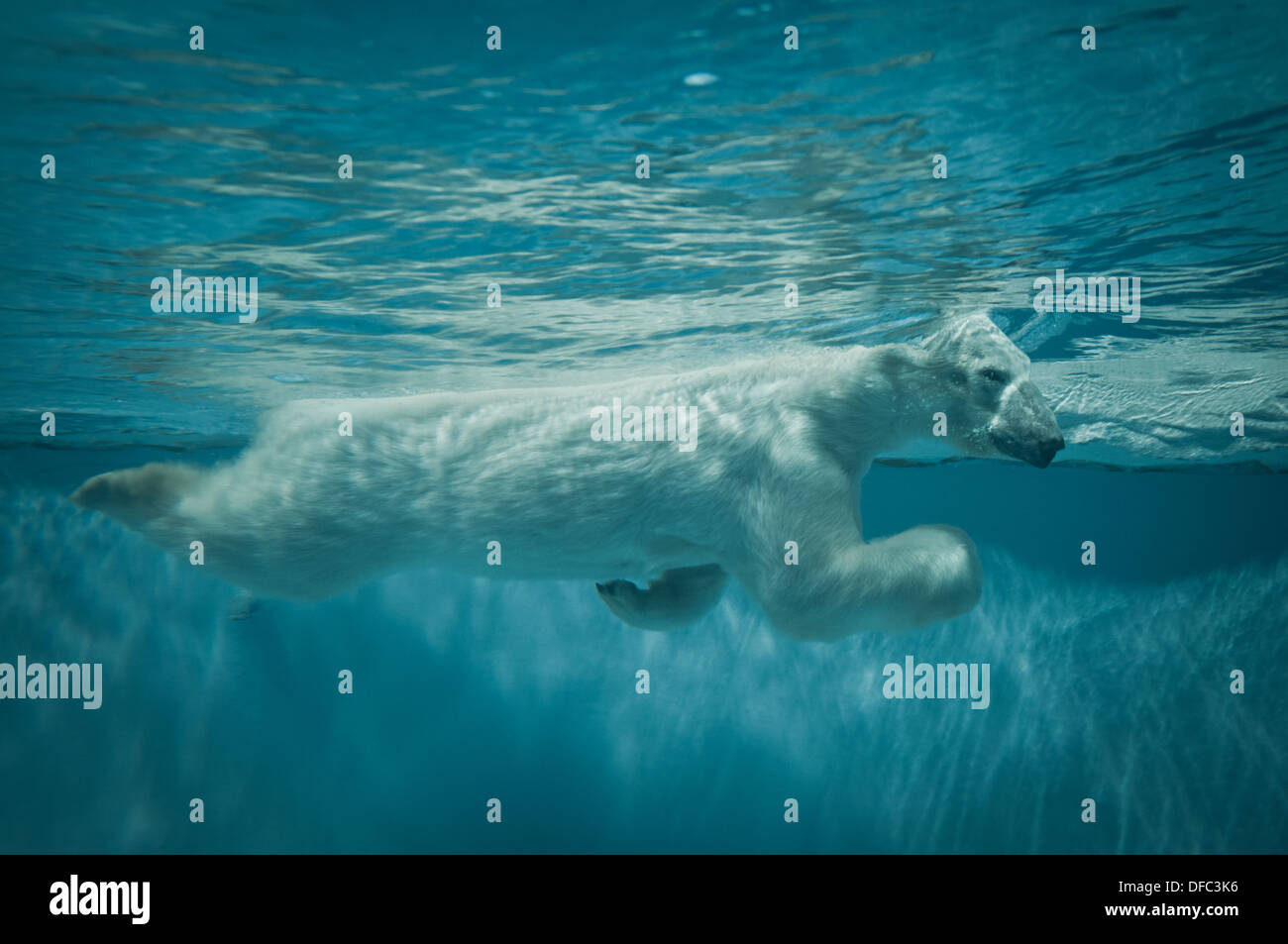 Swimming polar bear in Beijing Zoo, located in Xicheng District, Beijing, China - Stock Image
