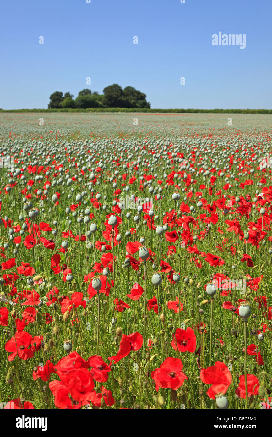 Red poppies in a field amongst the large seed pods of Opium poppies on a bright sunny day in Hampshire, England. Stock Photo