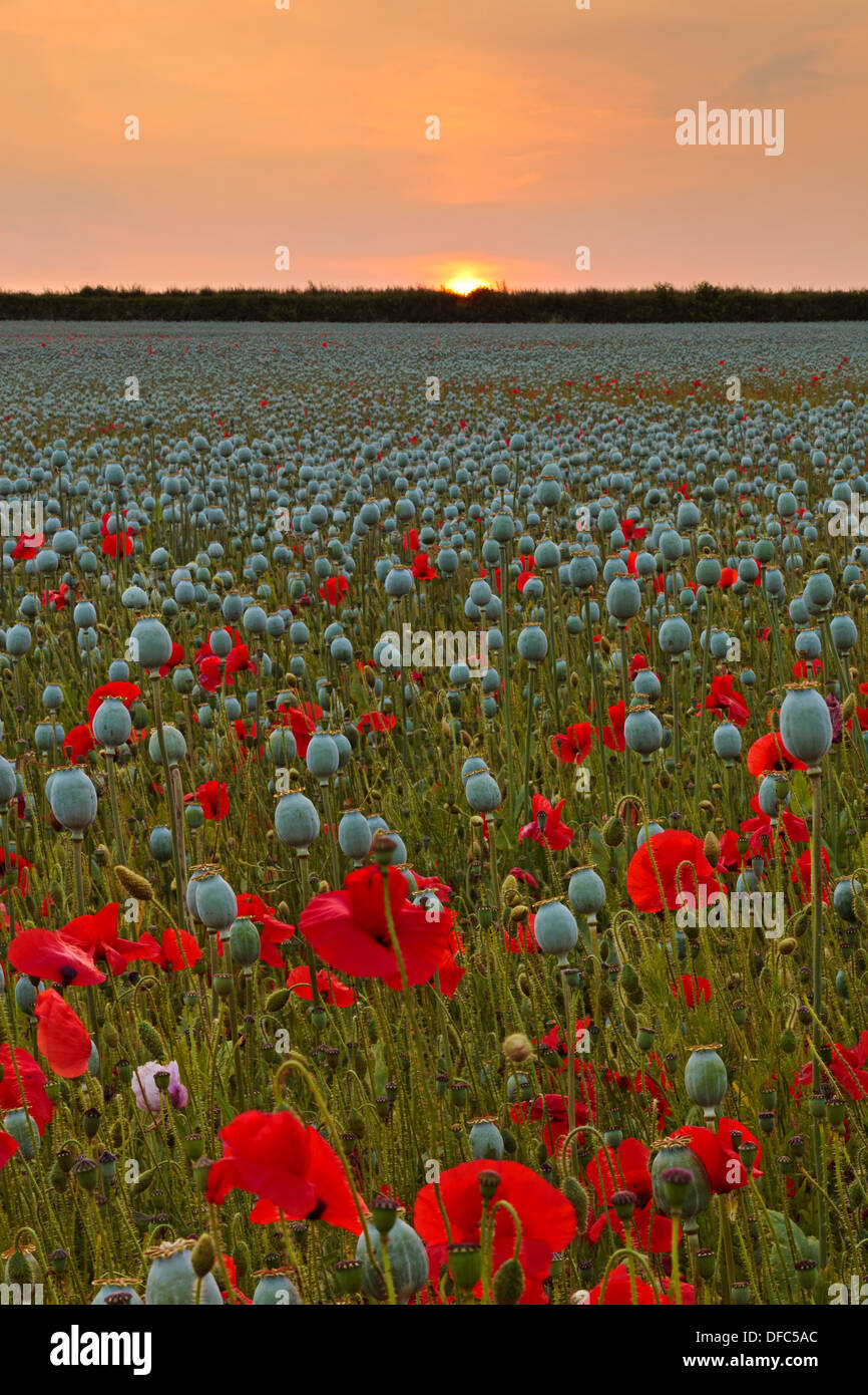 A Poppy field in Hampshire with the sunset disappearing behind a boundary hedge on the horizon. Stock Photo