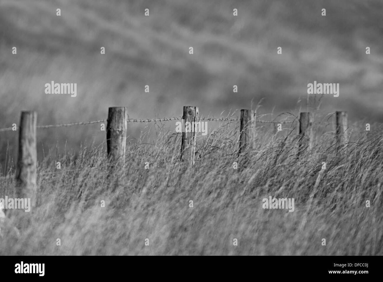 A Barbed Wire Posted Fence Amonst A Field Of Rye Grass And Wild Oat Plant Uk (Black and white) - Stock Image