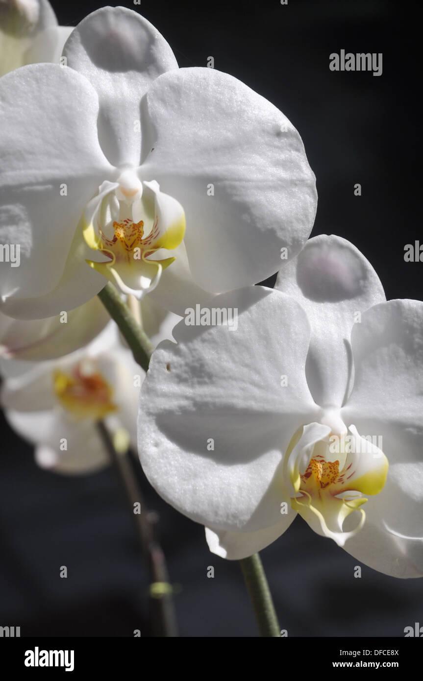 near Ubud (Bali, Indonesia): white orchids at the Ubud Hanging Gardens Hotel - Stock Image