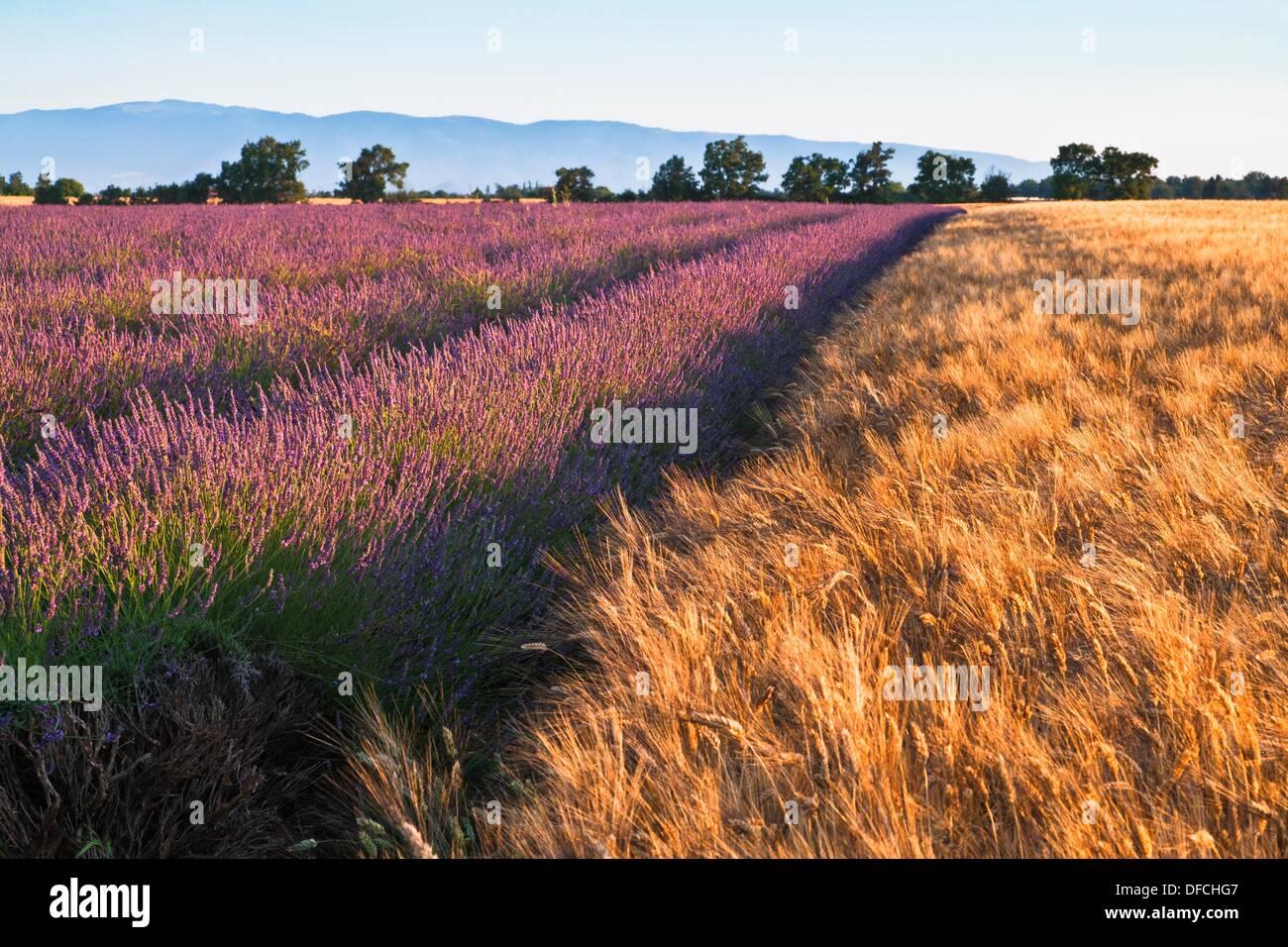 Lavender field at sunrise, Provence, France, Europe - Stock Image
