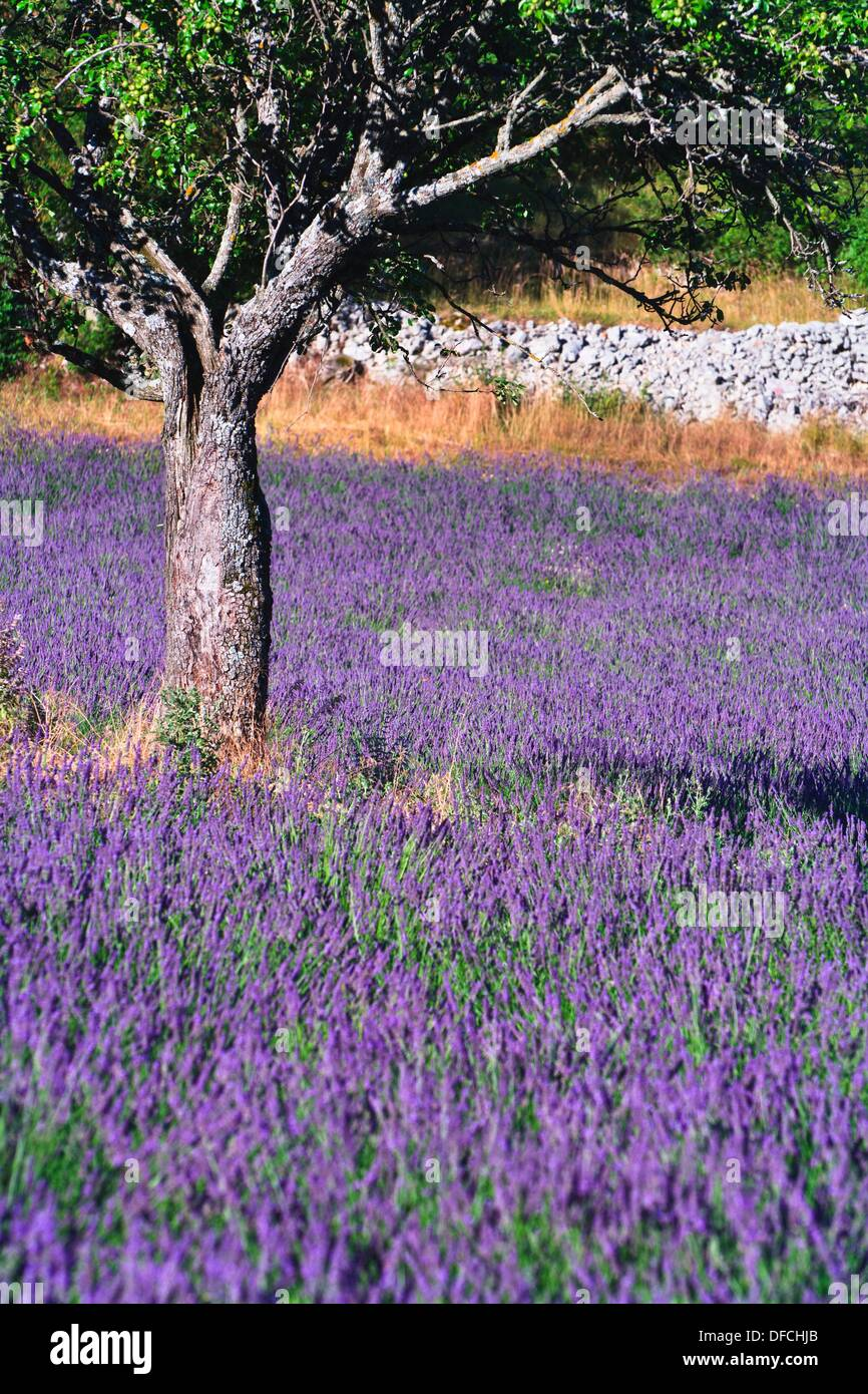 Tree in a lavender field, Provence, France, Europe - Stock Image