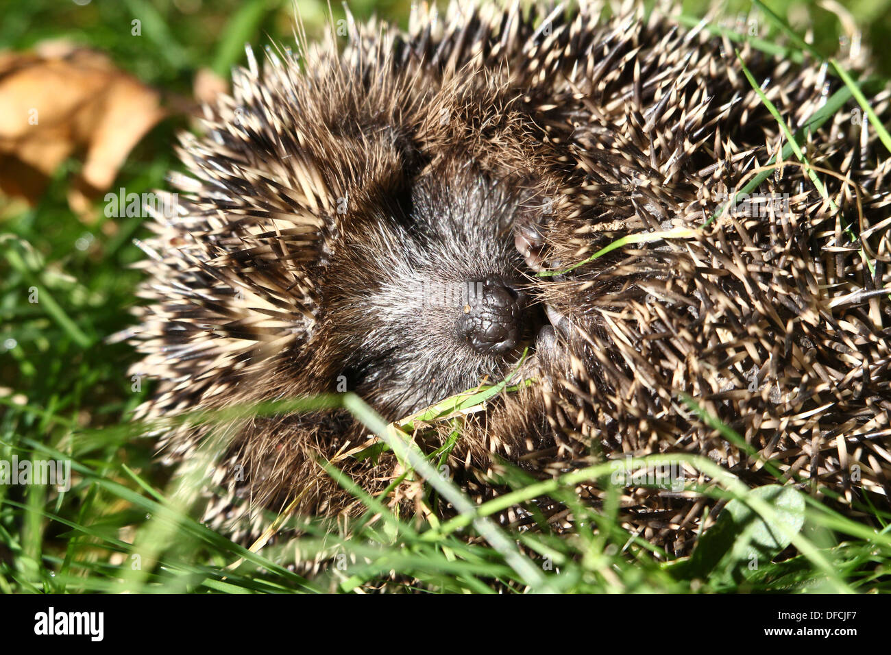 Close-up of a western Hedgehog (Erinaceus europaeus) all rolled up in a ball - Stock Image