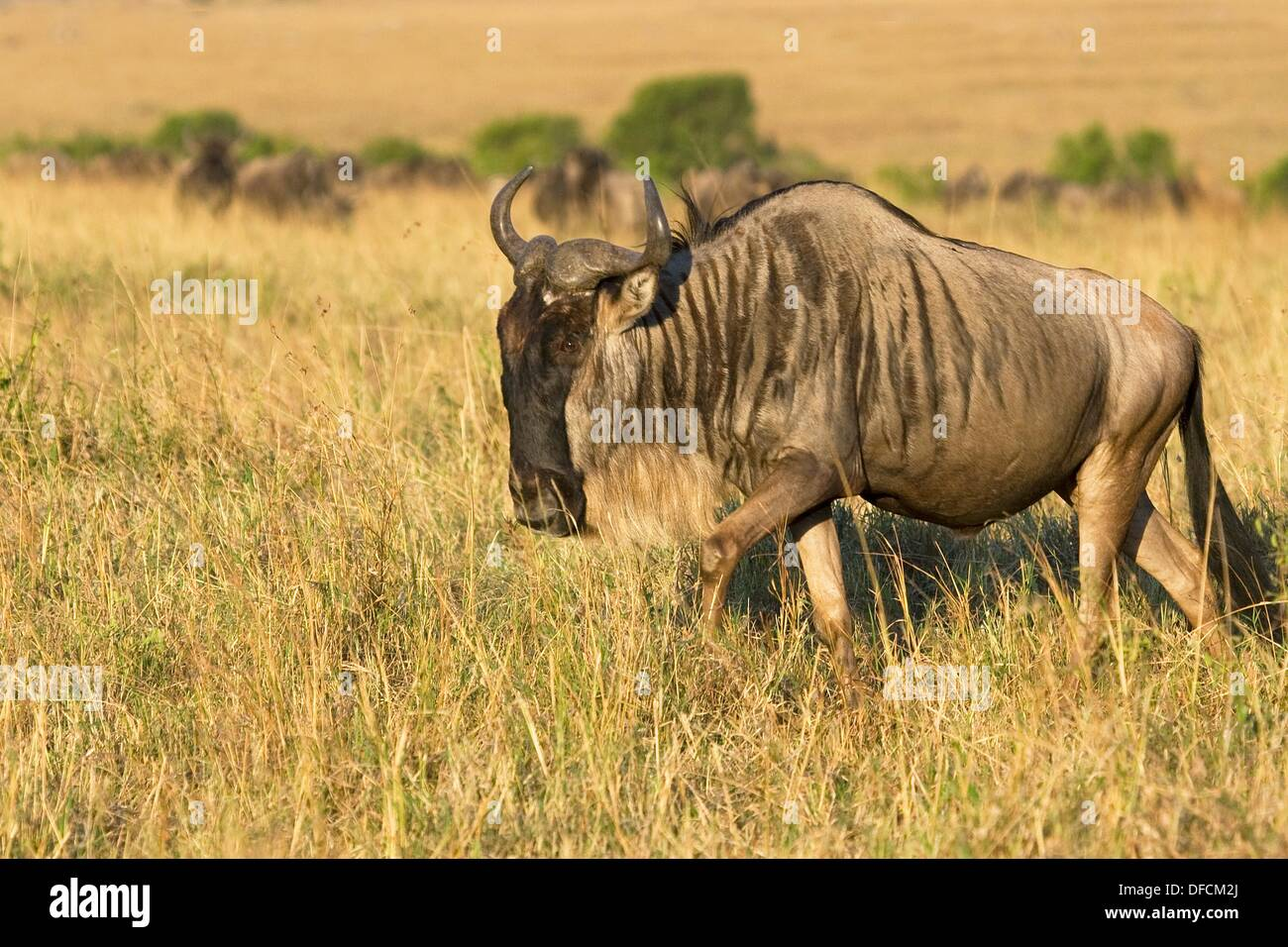 A wildebeest walks the plains of the Masai Mara during the Great Migration Stock Photo