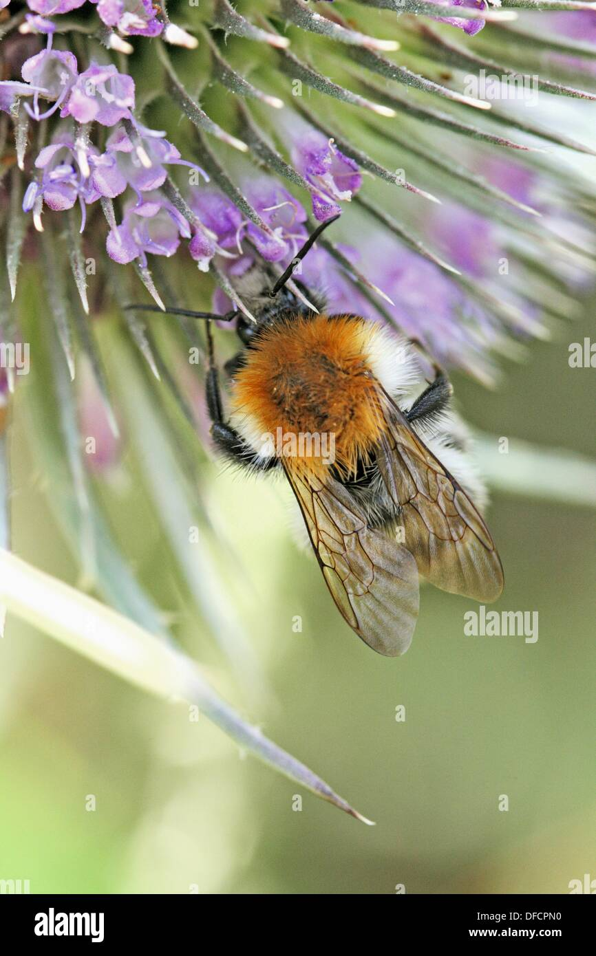 Bombus pascuorum, Common Carder-bee on Wild Teasel, Dipsacus fullonum  Czech black bumblebee on Wild Teasel, Dipsacus fullonum - Stock Image