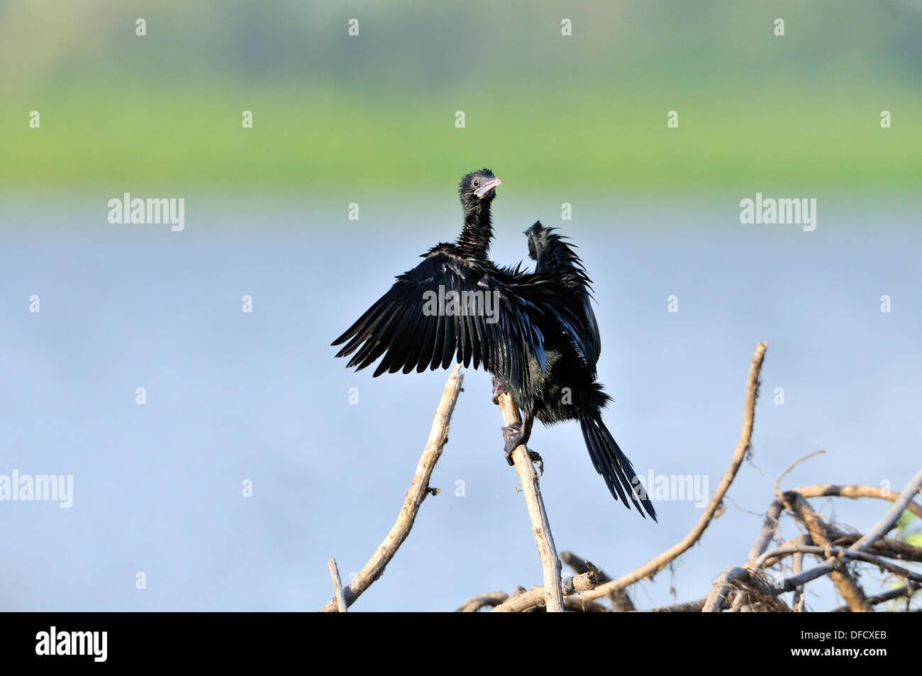 Great Cormorant - Stock Image