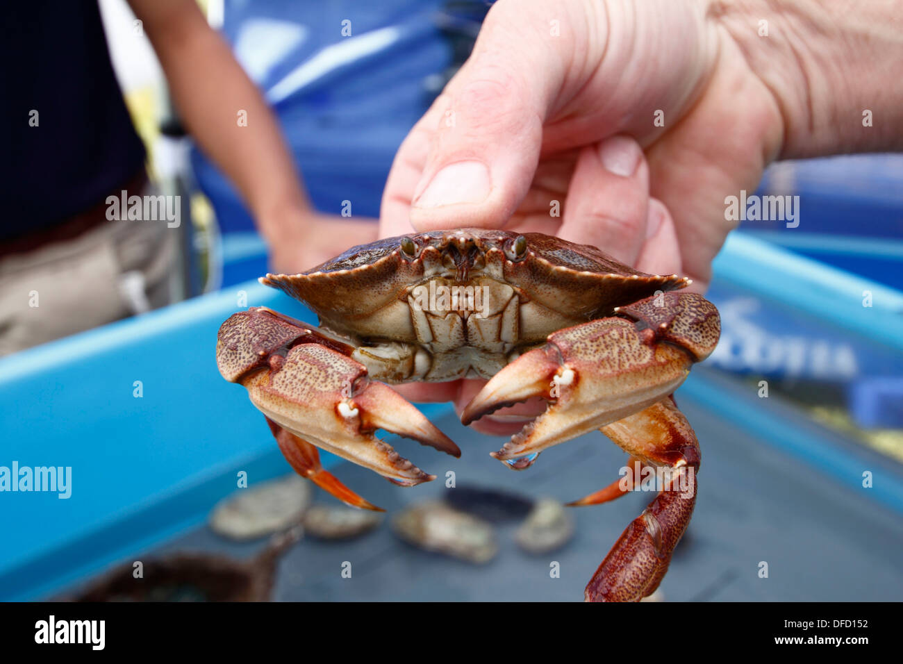 An live Atlantic rock crab held in a hand Stock Photo