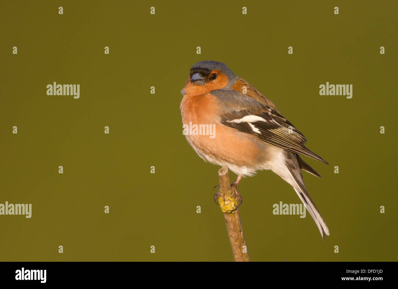 male Chaffinch (Fringilla coelebs) against a green background - Stock Image