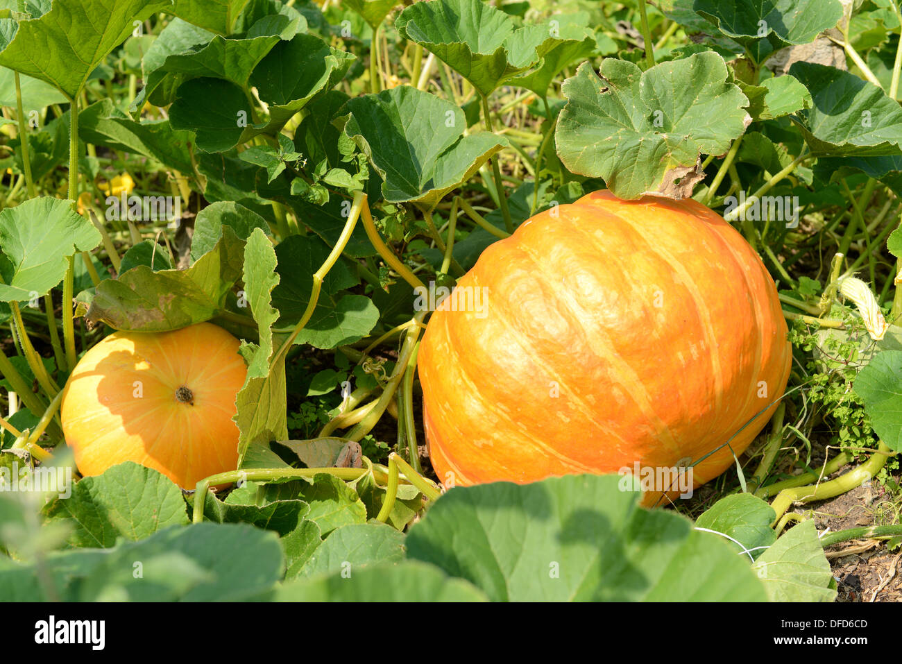 Pumpkins growing in garden - Stock Image