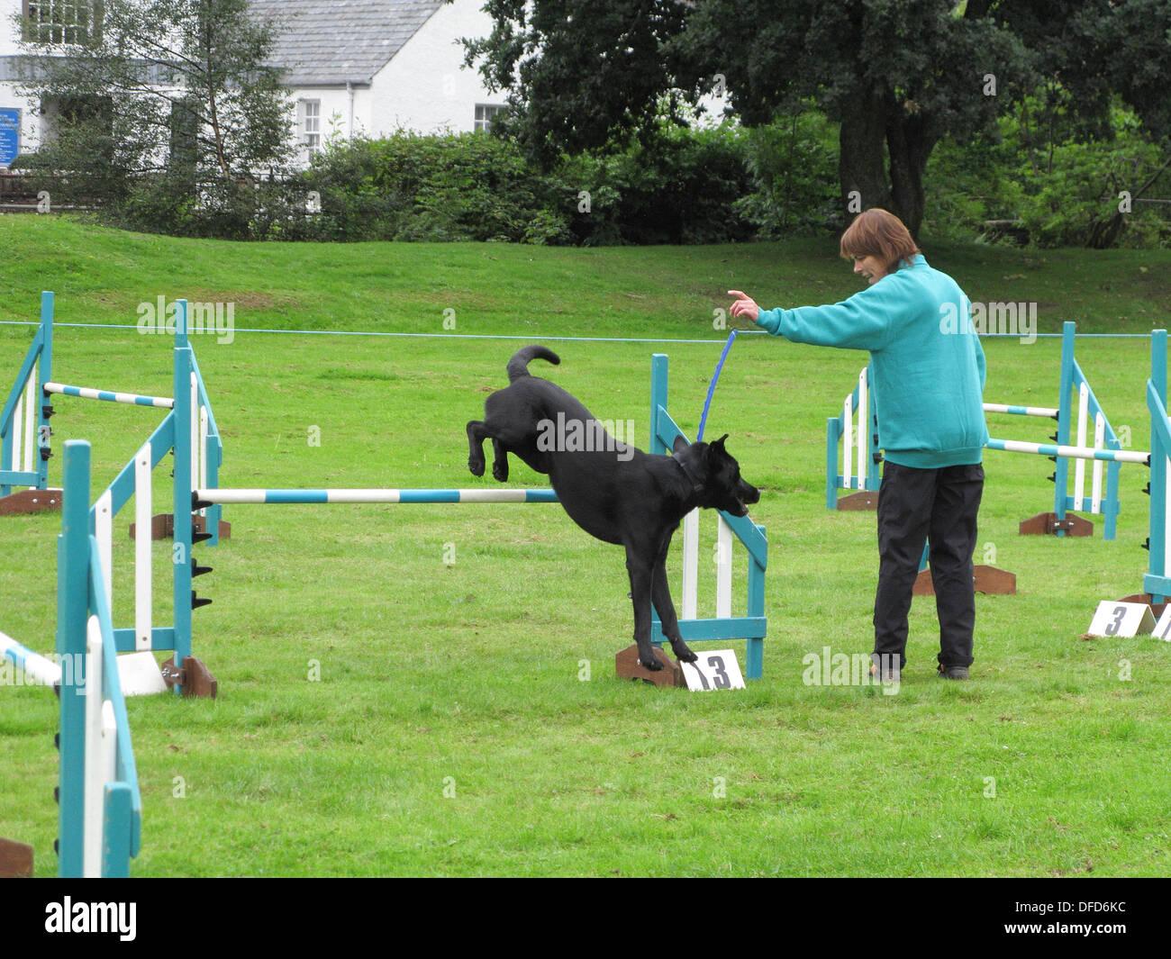 Black Labrador Undertaking a Dog Agility Course, UK - Stock Image