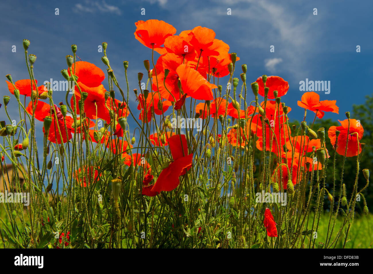 Red poppies with blue sky - Stock Image