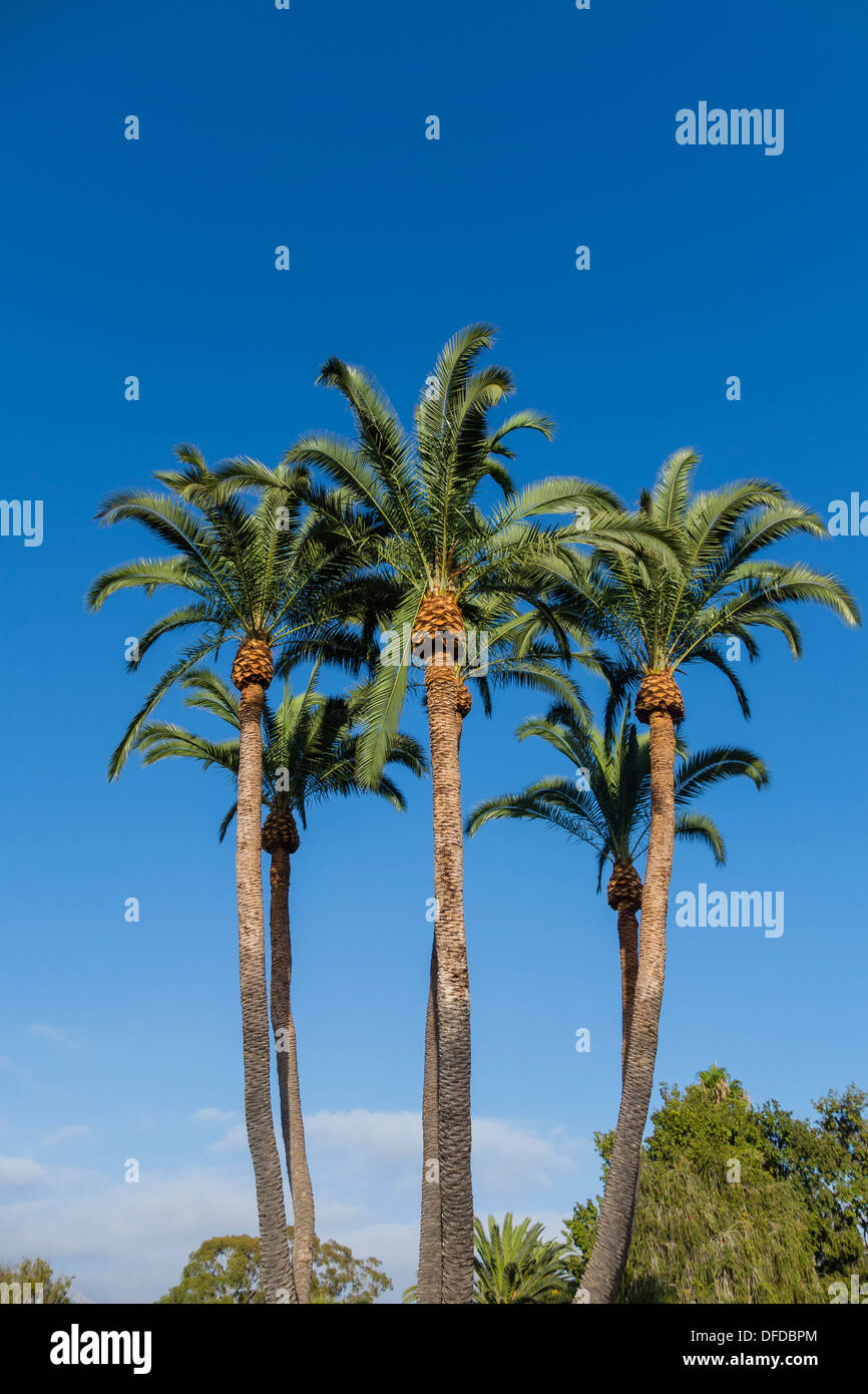 A grouping of newly trimmed tall palm trees against a deep blue sky in Santa Barbara, California. - Stock Image
