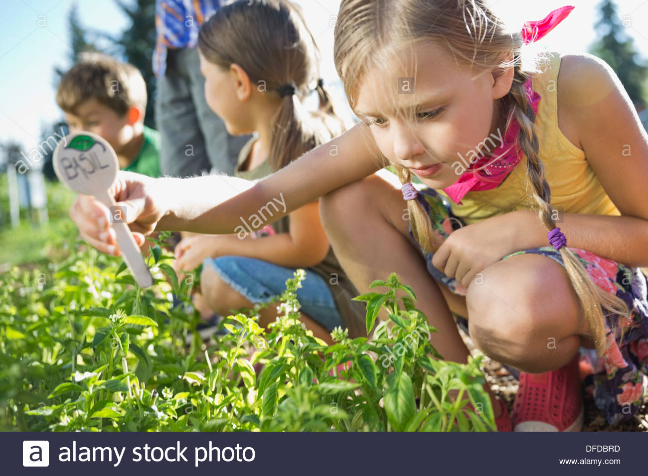 Girl placing basil sign in community garden - Stock Image