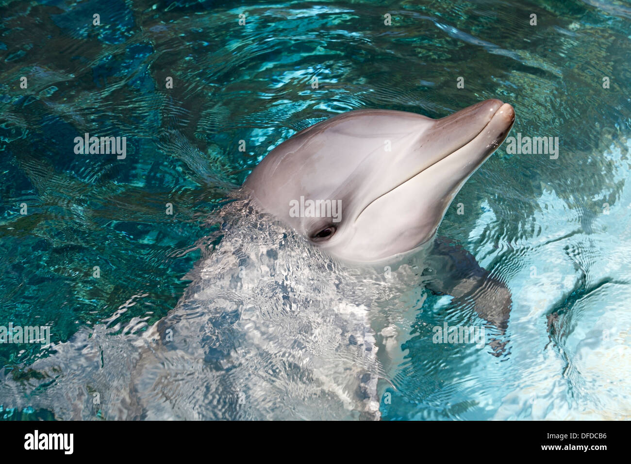 Bottlenose Dolphin head and face above water - Stock Image