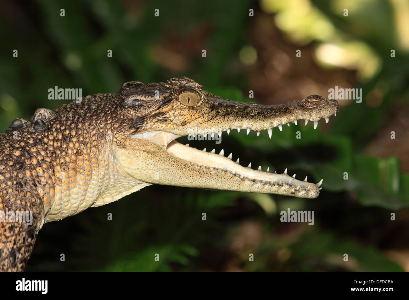 A young saltwater crocodile, mouth open and showing the teeth. Crocodylus porosus, Australia - Stock Image