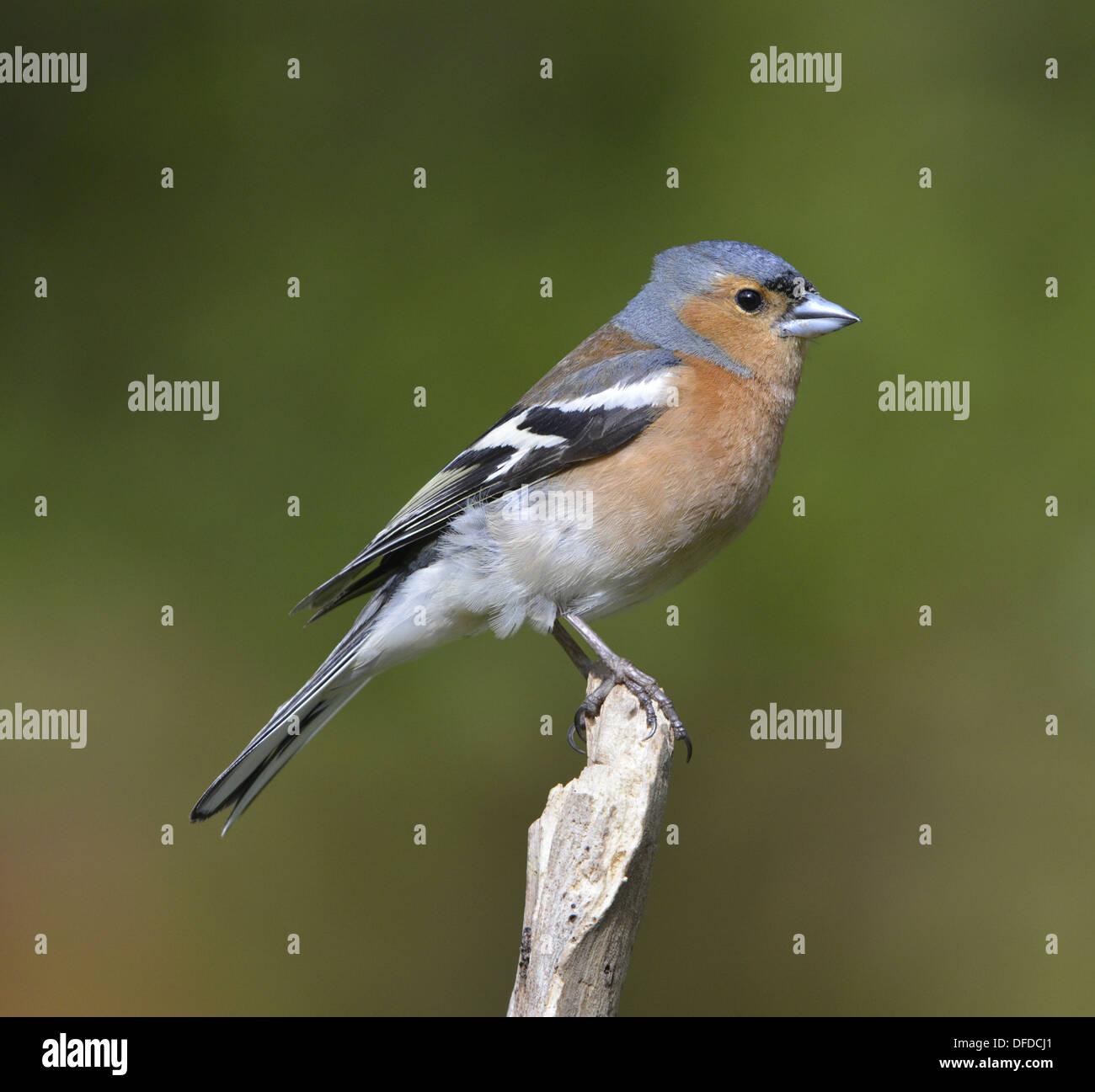 Chaffinch Fringilla coelebs - Stock Image