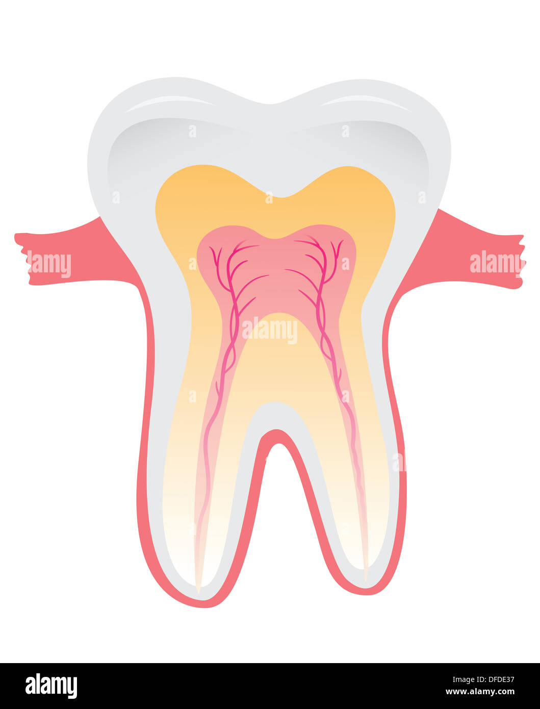 Tooth structure. Anatomy of teeth Stock Photo: 61147387 - Alamy