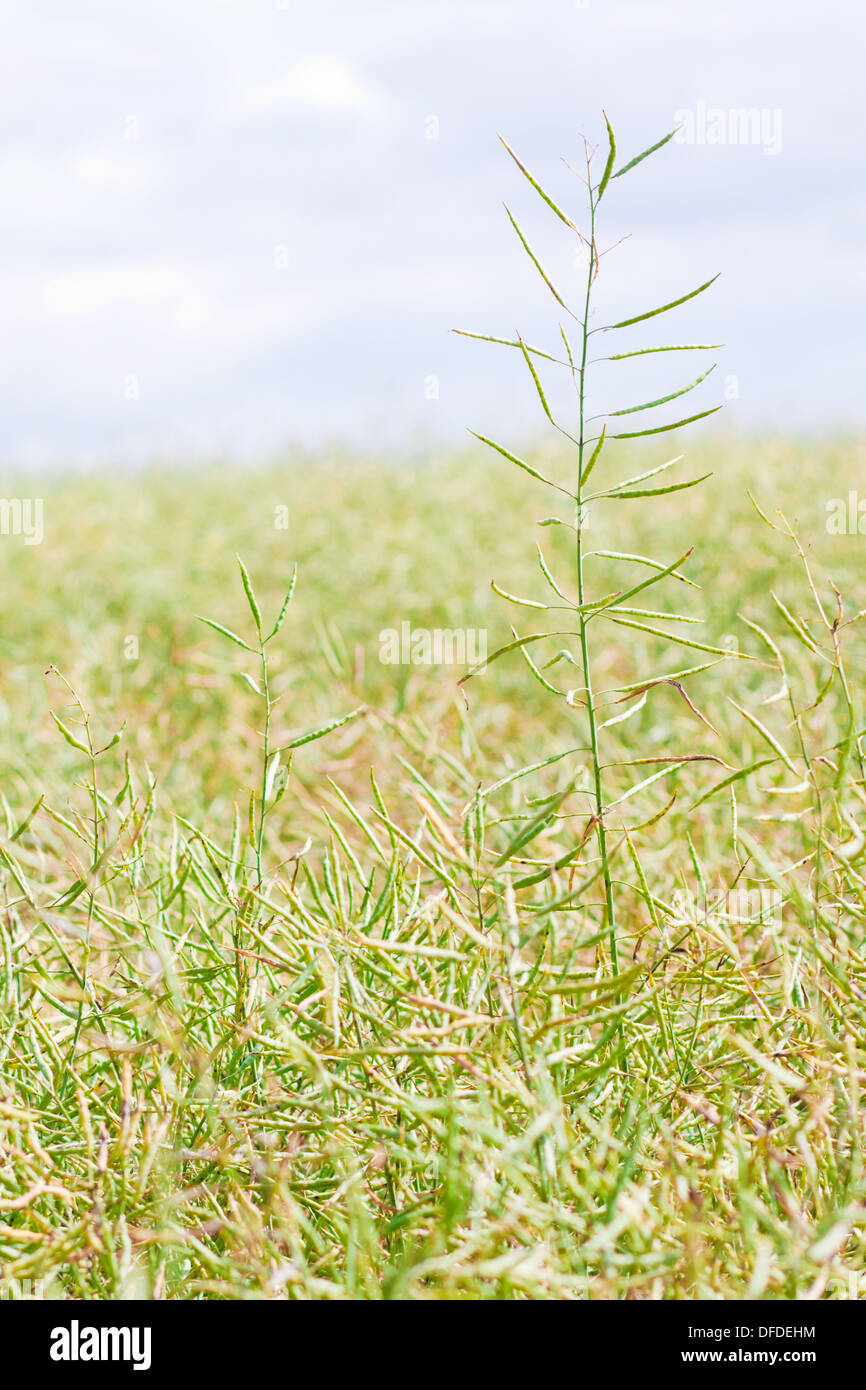 Abstract photo of field of mustard - Stock Image