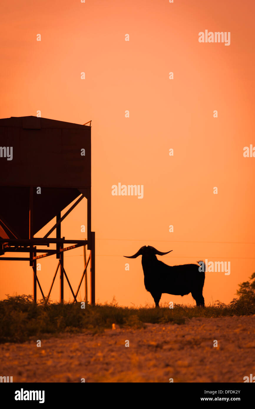 USA, Texas, Long horned goat standing next to feeder - Stock Image