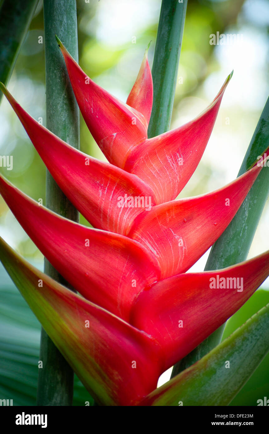 Photograph of Tropical wild flower Heliconia caribaea, top and stem in nature - Stock Image
