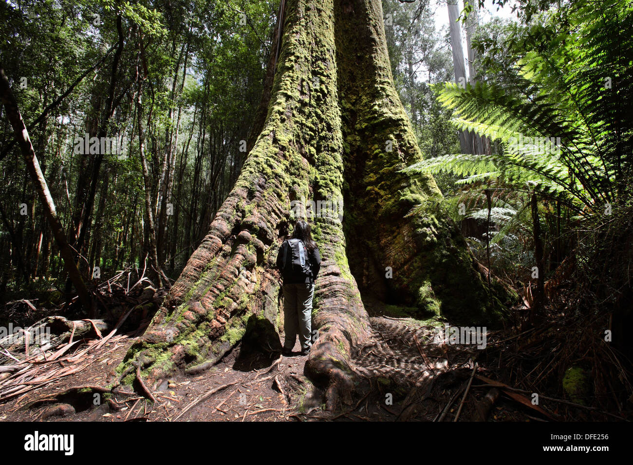 Swamp Gum Eucalyptus regnans, one of the tallest tree species in the world  Mt Field National Park  Tasmania, Australia - Stock Image